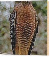 Red Shouldered Hawk Wood Print by John Black