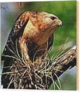 Red-shouldered Hawk With Breakfast Wood Print