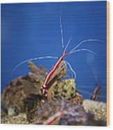 Red Shrimp Wood Print