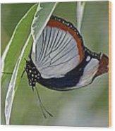 Red Spot Diadem Butterfly Wood Print