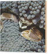 Red-spotted Porcelain Crab Hiding Wood Print