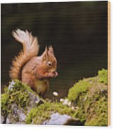 Red Squirrel Eating Nuts Wood Print