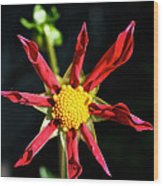Red Star Dahlia Wood Print