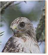 Red-tailed Hawk Has Superior Vision Wood Print