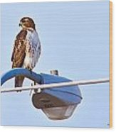 Red-tailed Hawk Perched Wood Print
