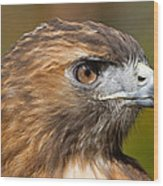 Red-tailed Hawk Portrait Wood Print