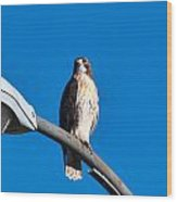 Red-tailed Hawk Surveying Territory Wood Print
