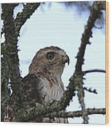 Red-tailed Hawk - Young And The Old Wood Print