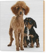 Red Toy Poodle And Cavalier King Wood Print