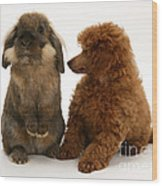 Red Toy Poodle Pup With A Lionhead Wood Print