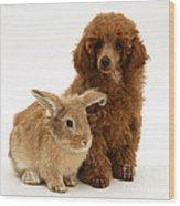 Red Toy Poodle Pup With Lionhead-cross Wood Print