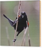 Red-winged Blackbird - Can You Hear Me Now Wood Print