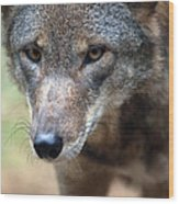 Red Wolf Closeup Wood Print