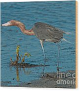 Reddish Egret Hunting Wood Print