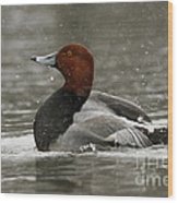 Redhead Duck Flapping Its Wings Wood Print