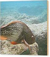 Redlip Parrotfish Wood Print
