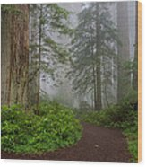 Redwoods Rising In Fog Wood Print