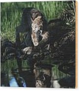 Reflection Of Lynx In Stream Idaho, Usa Wood Print