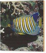 Regal Angelfish In Coral Reef Wood Print