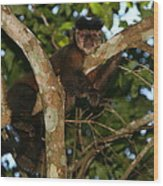 Relaxed - Brown Capuchin Wood Print