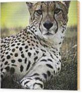 Resting Cheetah Wood Print