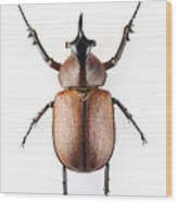 Rhinoceros Beetle Wood Print