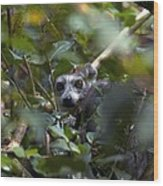 Ring-tailed Lemur In A Tree Wood Print