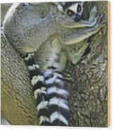 Ring-tailed Lemurs Madagascar Wood Print