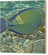 Ringtail Surgeonfish Wood Print by Michael Peychich
