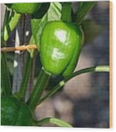 Ripened Peppers Wood Print