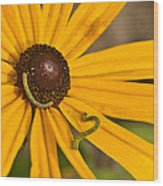 Roadside Daisy And Inch Worms Wood Print