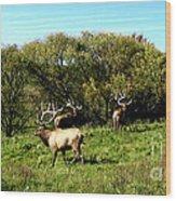 Roaming Elk  Wood Print by The Kepharts