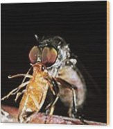 Robber Fly Feeding On A Cockroach Wood Print by Dr Morley Read