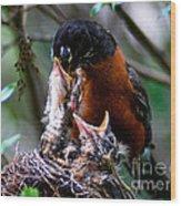 Robin Feeding Young 1 Wood Print by Terry Elniski