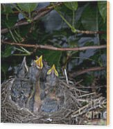 Robin Nestlings Wood Print by Ted Kinsman