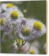 Robin's Plantain - Alabama Wildflowers Wood Print