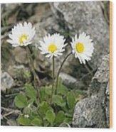 Rock-plant Daisy (bellis Margaraetifolia) Wood Print