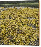 Rock Weed Fucus Gardneri At Low Tide Wood Print