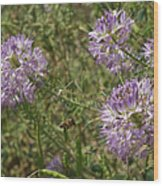 Rocky Mountain Bee Plant Wood Print