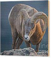 Rocky Mountain Big Horn Ram Wood Print
