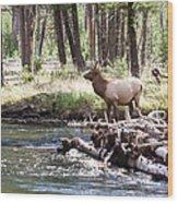 Rocky Mountain Elk Wood Print by Cindy Singleton