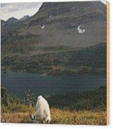 Rocky Mountain Goat Wood Print