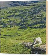 Rocky Mountain Goat Glacier National Park Wood Print