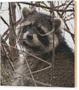 Rocky Raccoon Wood Print
