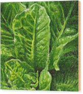 Romaine Unfurling Wood Print by Steve Asbell