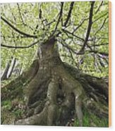 Roots Of An Old Beech Tree Wood Print