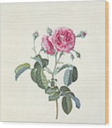 Rose Dutch Hundred Leaved Rose Wood Print