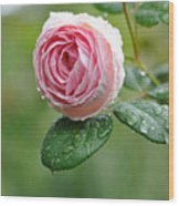Rose  'geoff Hamilton' Wood Print