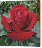 Rose Rosa Sp Ingrid Bergman Variety Wood Print