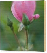 Rose With Pink Glow Wood Print
